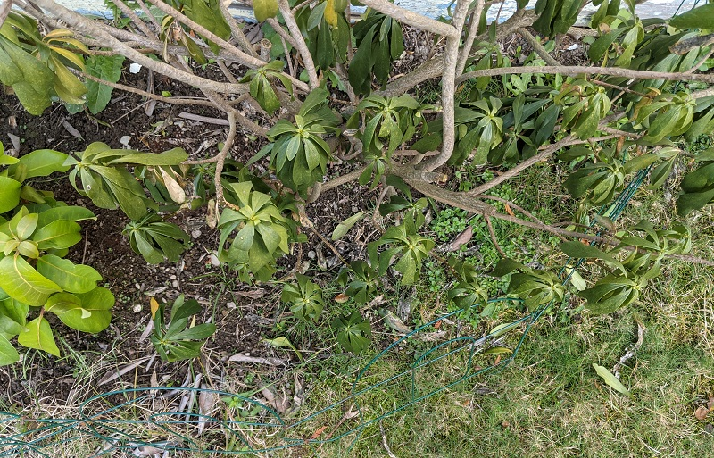 shrub after transport