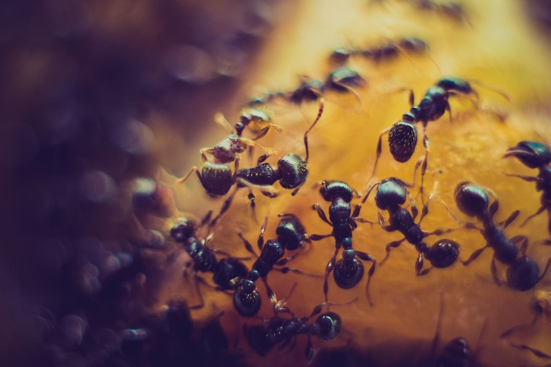 ants feeding on fruit