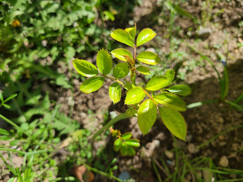 fresh growth rose cutting