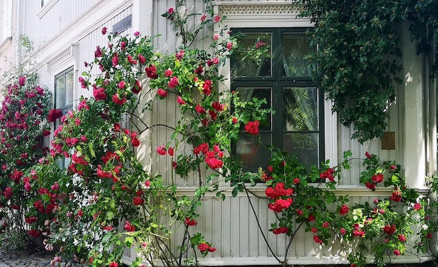 how to grow rose bush from cuttings