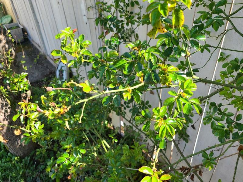 new growth rose bush
