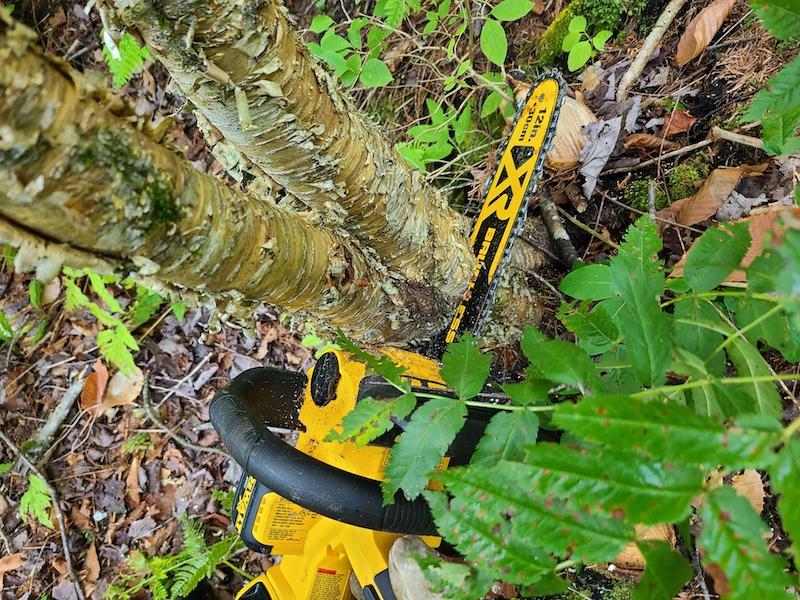 cutting small birch tree